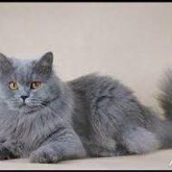 Британская порода кошек: характер, описание, уход и лучшие фото