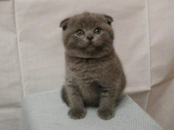 Британская короткошерстная котята