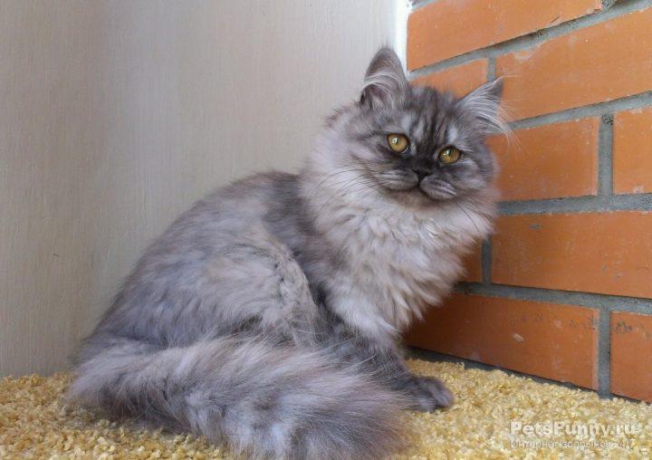 Британские длинношерстные кошки фото