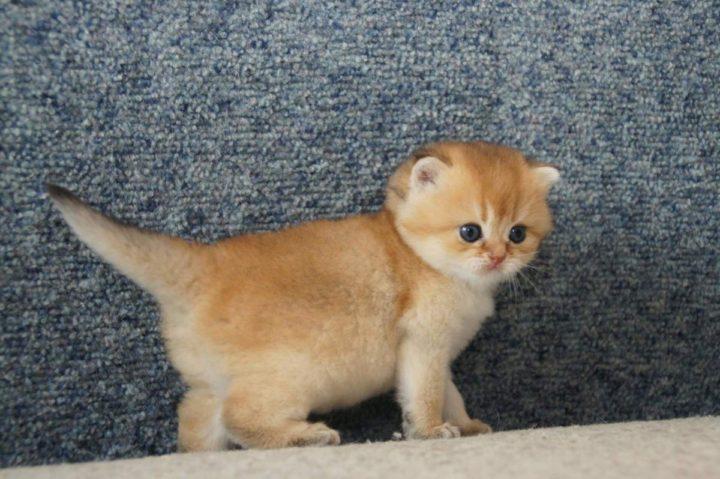 Британская кошка рыжая