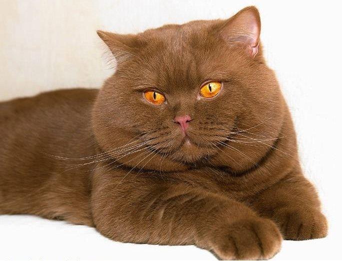 Британская кошка коричный оттенок