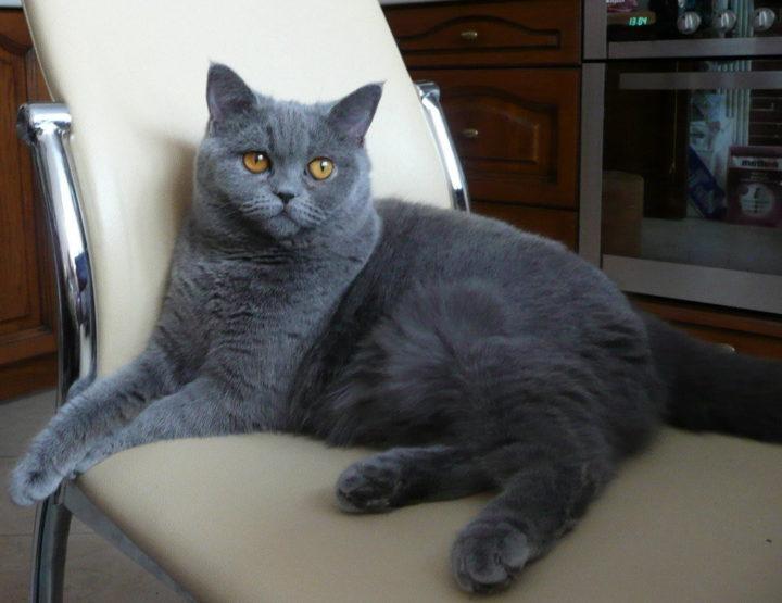 Британская голубая короткошерстная