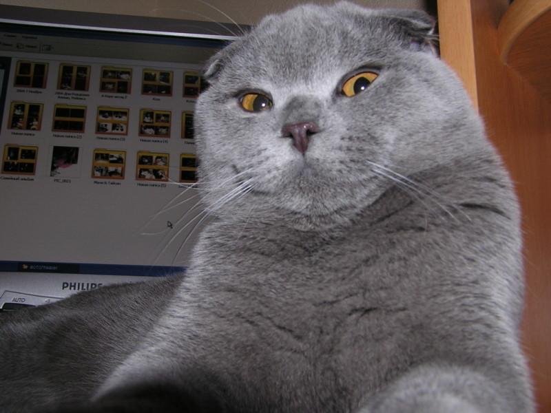 Британская кошка домашняя